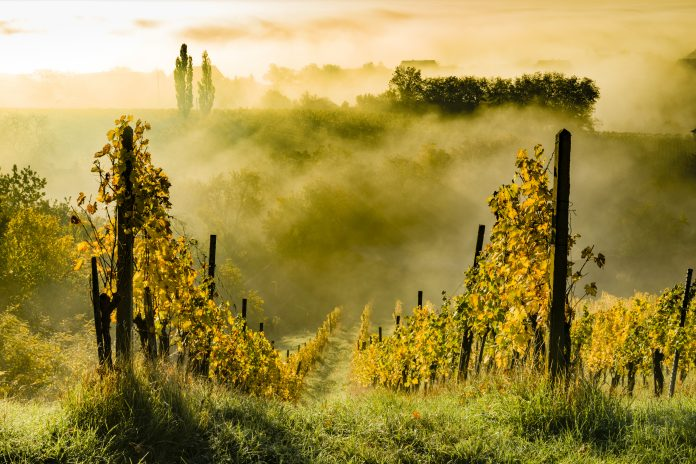 Austrian vineyard